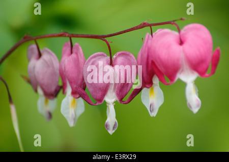 An arch of pink bleeding heart ( Lamprocapnos spectabilis,) in flower, England, UK - summer - Stock Photo