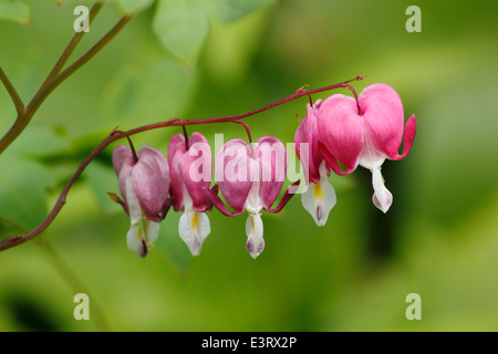 An arch of pink bleeding heart (dicentra spectabilis) in flower, England, UK - summer - Stock Photo