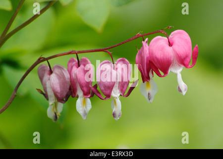 An arch of pink bleeding heart (Lamprocapnos spectabilis) in flower in an English garden border on a warm summer - Stock Photo