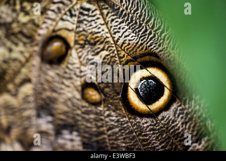 Close up macro photograph of wing of owl butterfly with a clip of green on the corner close to the bright circular - Stock Photo