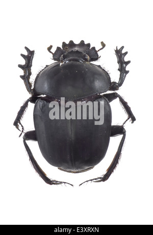 Coleoptera; Scarabaeidae; Scarabaeus sacer; Linnaeus 1758; Dung beetle; - Stock Photo