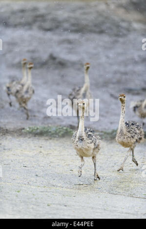 TEN OSTRICH CHICKS Zoo Basel's celebrated Ostrich couple ... Ostrich Giving Birth