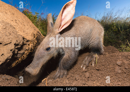 Young aardvark (Orycteropus afer) - Stock Photo
