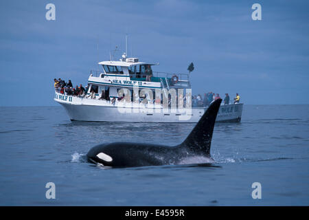 Adult male transient killer whale {Orcinus orca) + whale watching boat. Monterey Bay, California, USA. - Stock Photo