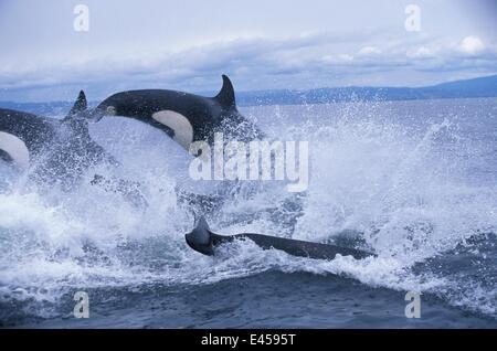 Pod of transient killer whales {Orcinus orca} porpoising, Monterey Bay, California, USA. - Stock Photo