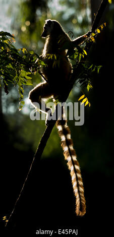 Ring-tailed Lemur (Lemur catta) sun basking at dawn. Berenty Private Reserve, southern Madagascar. - Stockfoto
