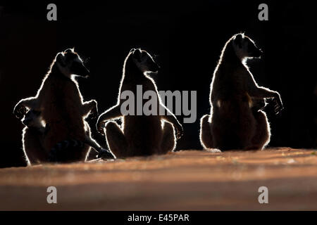 Three Ring-tailed Lemurs (Lemur catta) sun basking at dawn. Berenty Private Reserve, southern Madagascar. (digitally - Stockfoto