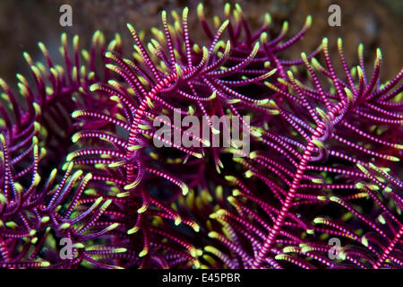 Colourful arms of Featherstar (Comanthina sp) Lembeh Straits, Sulawesi, Indonesia - Stock Photo