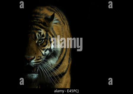 Head portrait of Sumatran tiger (Panthera tigris sumatrae) with face half cast in shadow, and mouth open, captive - Stock Photo