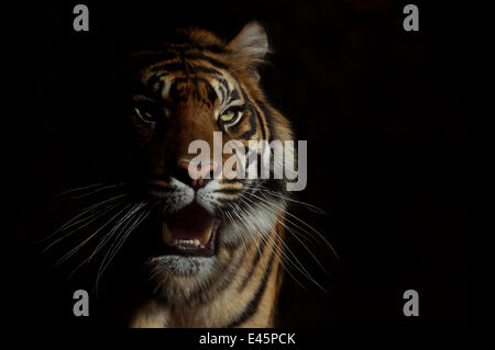 Head portrait of Sumatran tiger (Panthera tigris sumatrae) with face half cast in shadow, with aggressive expression, - Stock Photo