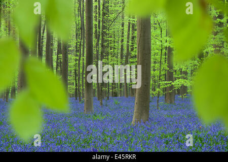 Bluebells (Hyacinthoides non-scripta / Endymion scriptum) flowering in Beech wood, Hallerbos, Belgium, April - Stock Photo
