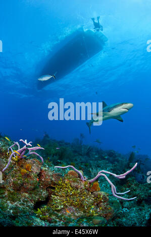 Caribbean reef shark (Carcharhinus perezi) swimming over a coral reef, beneath a snorkeler and boat. Near Grand - Stock Photo