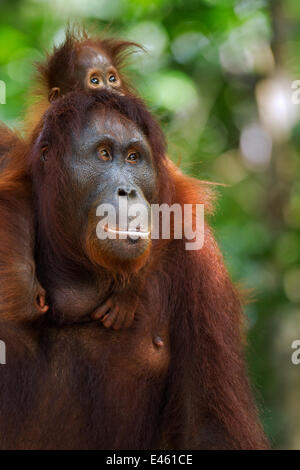Bornean Orangutan (Pongo pygmaeus wurmbii) female 'Peta' carrying her baby daughter 'Petra' aged 12 months. Camp - Stockfoto