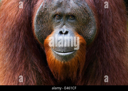 Bornean Orangutan (Pongo pygmaeus wurmbii) young mature male 'Gary' aged 16 years portrait. Camp Leakey, Tanjung - Stock Photo