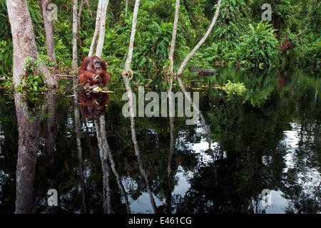 Bornean Orangutan (Pongo pygmaeus wurmbii) sub-adult male 'Oman' sitting on a clump of vegetation in the river feeding - Stockfoto