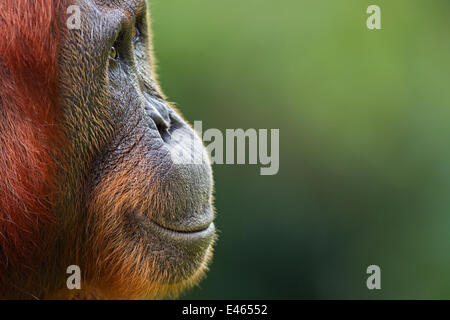 Bornean Orangutan (Pongo pygmaeus wurmbii) female 'Tutut' head portrait. Camp Leakey, Tanjung Puting National Park, - Stock Photo