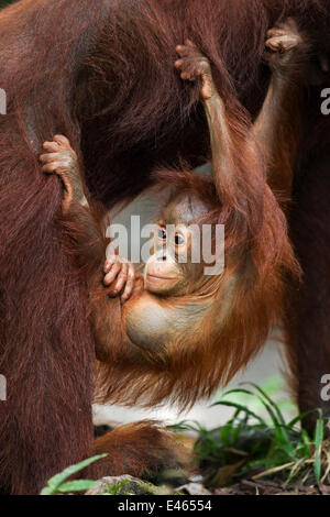 Bornean Orangutan (Pongo pygmaeus wurmbii) male baby 'Thor' aged 8-9 months hanging from his mother. Camp Leakey, - Stockfoto