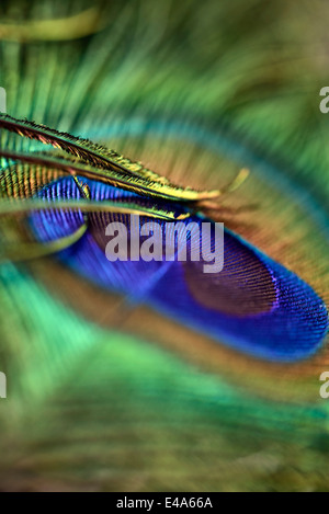 Detail of peacock's feather - Stock Photo