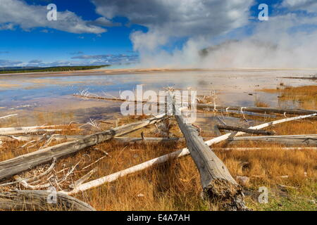 Fallen lodgepole pines, Grand Prismatic Spring, Midway Geyser Basin, Yellowstone National Park, UNESCO, Wyoming, - Stock Photo