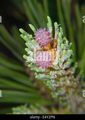 Purple flower on spruce tree - Stock Photo