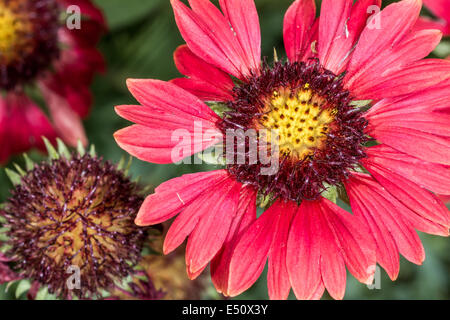 Scarlet daisy flower in summer time - Stock Photo