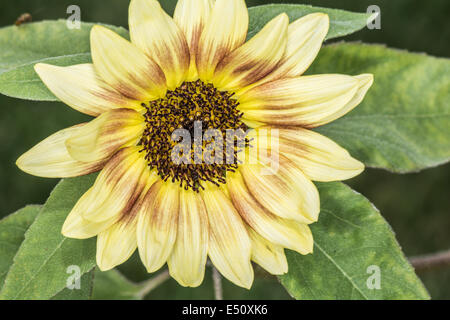 Daisy flower blossom in summer time - Stock Photo