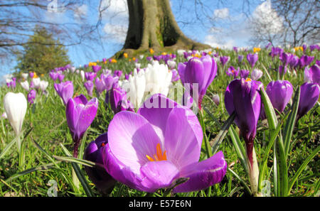 Crocuses growing in abundance beneath a tree at Sheffield Botanical Gardens on a beautiful spring day, Yorkshire, - Stock Photo