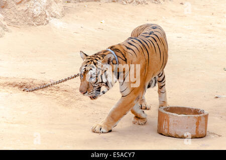 Buddhist monk with a bengal tiger at the Tiger Temple on May 23, 2014 in Kanchanaburi, Thailand. - Stock Photo