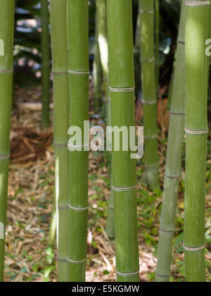 Stand of Green Bamboo. Trunks of Bamboo grass in a sunlight dappled grove. - Stockfoto
