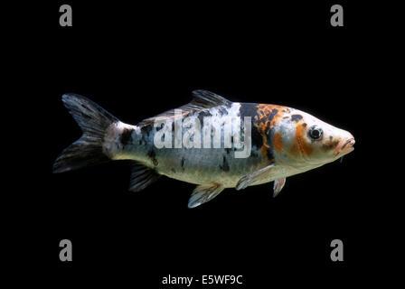Common carp cyprinus carpio stock photo royalty free for Ornamental carp