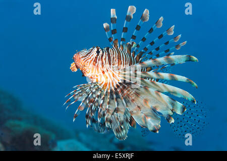 Red Lionfish (Pterois volitans), Makadi Bay, Red Sea, Hurghada, Egypt - Stock Photo