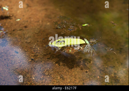 Leaf cutter ant trapped on a leaf floating in a pond - Stockfoto