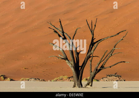Petrified tree in front of an orange sand dune, Dead Vlei, Namibia, Africa - Stock Photo