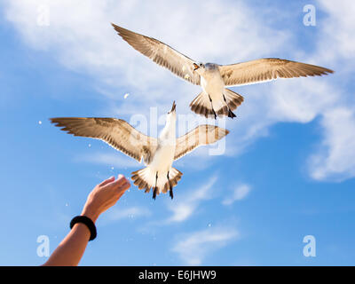 Girls hand feeding seagulls against the background of blue sky - Stock Photo