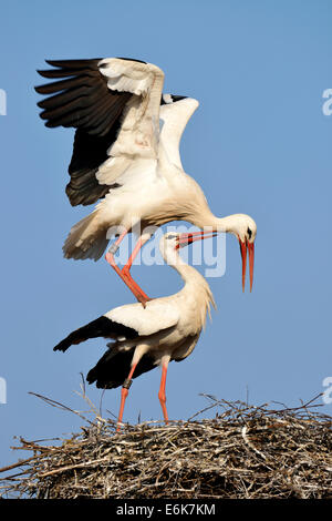 White storks (Ciconia ciconia) mating, Canton of Aargau, Switzerland - Stock Photo