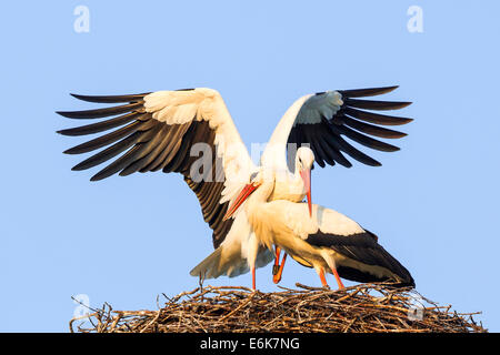 White Storks (Ciconia ciconia), mating, Hesse, Germany - Stock Photo