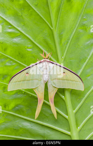 Indian Moon Moth (Actias selene) Freshly hatched male. Found in India, Nepal, Ceylon, Borneo, and other islands - Stockfoto