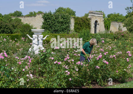 Lady gardener working in the rose garden at Wrest Park, UK; a classical marble statue in the background. - Stockfoto