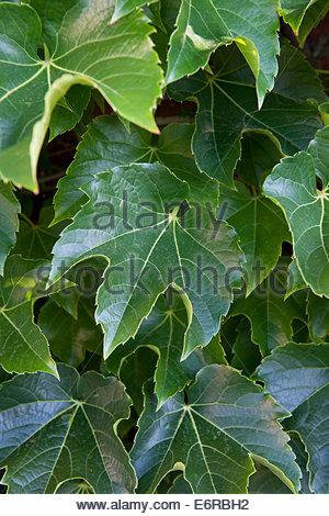 Parthenocissus tricuspidata (Boston Ivy) - Stock Photo