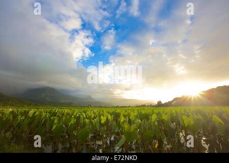 Sunrise over the taro fields in the Hanalei Valley of Kauai - Stock Photo