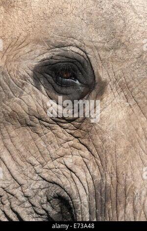 African elephant eye (Loxodonta africana), Addo Elephant National Park, South Africa, Africa - Stock Photo