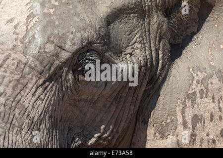 African elephant head and skin detail (Loxodonta africana), Addo Elephant National Park, South Africa, Africa - Stock Photo