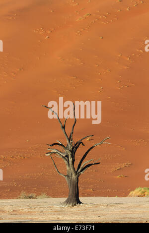 Petrified Tree in front of a red sand dune, Sossusvlei, Namibia, Africa - Stock Photo
