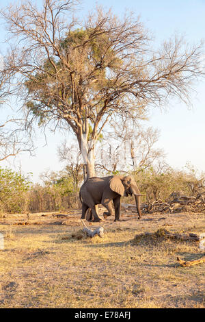 African elephant walking through dry woodland in Okavango Delta, Botswana, southern Africa - Stock Photo