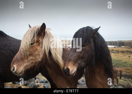 Icelandic horses, east Iceland - Stock Photo