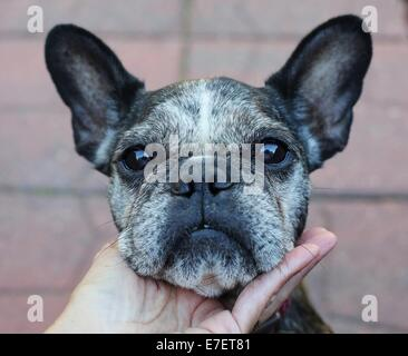 A person's hand, cupping the chin of a cute, old, gray-faced French Bulldog. - Stock Photo