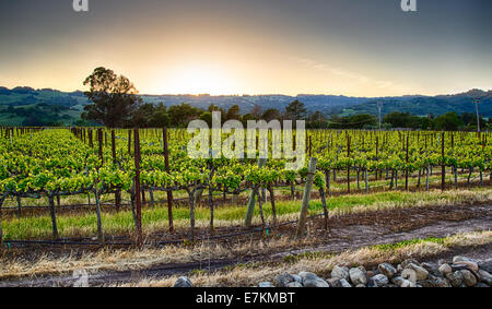 Sunset over vineyards in California's wine country. Sonoma county, California - Stockfoto