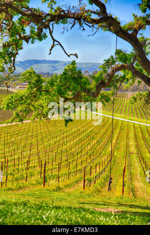 A rope swing hangs from a tree over looking the vinyards below. Sonoma County, California. - Stockfoto