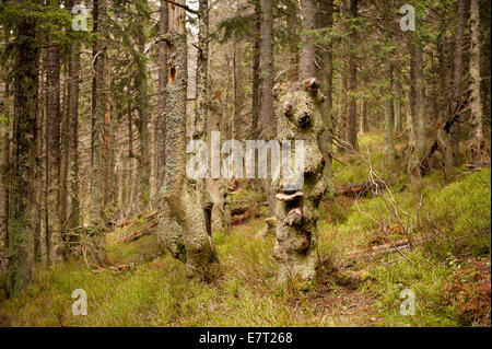 Old forest in Babia Gora National Park - Stockfoto