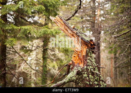 Rotted trunk collapsed in Babia Góra National Park - Stock Photo